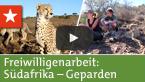 Freiwilligenarbeit Südafrika: Geparden