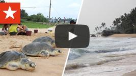 Freiwilligenarbeit Sri Lanka: Schildkröten
