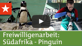 Freiwilligenarbeit Südafrika: Pinguin