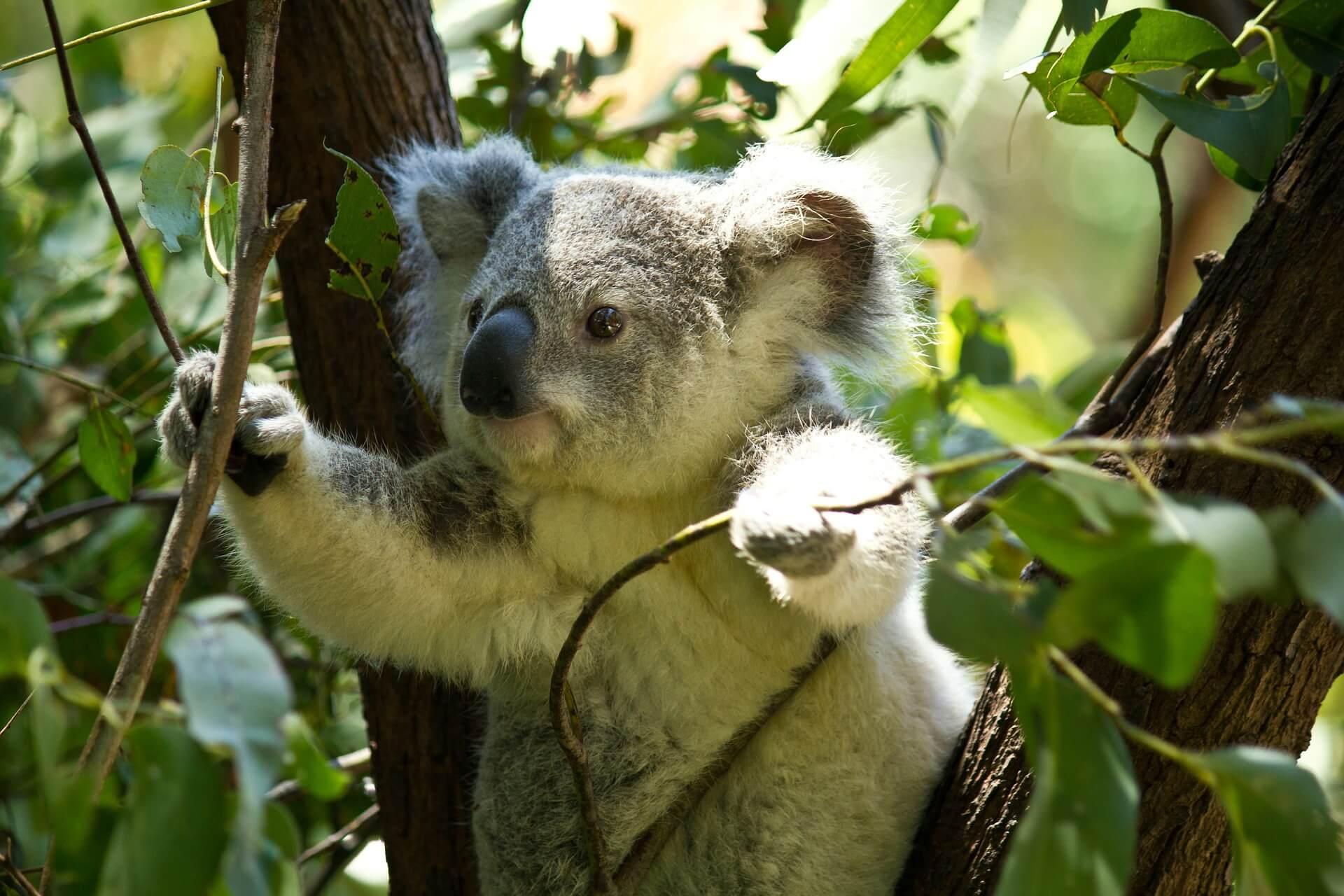 Ein süßer Koala schaut durch die Blätter eines Baumes