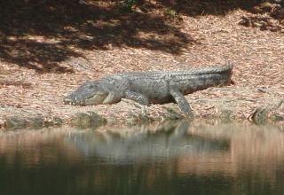 Daniel in Australien #6: Cairns – Besuch einer Krokodilfarm