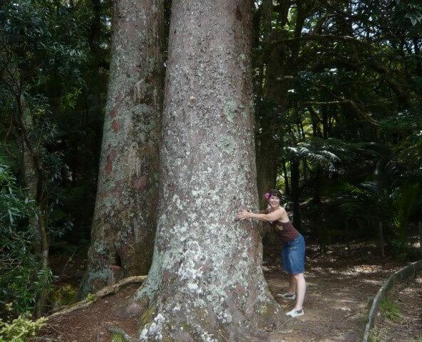 Ein Kauri Baum in Coromandel