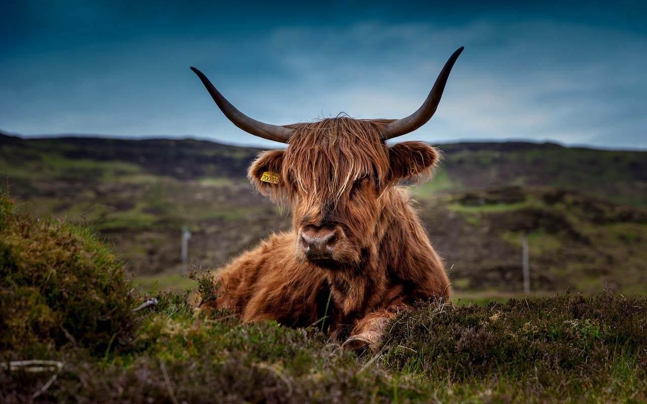 Rind vor einer schottischen Landschaft