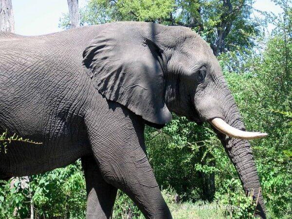 Weltneugier: Botswana - Elefant