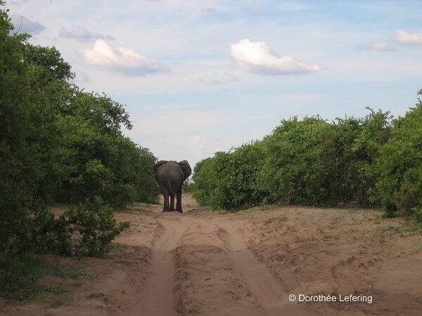 Weltneugier: Botswana - Elefant versperrt Weg