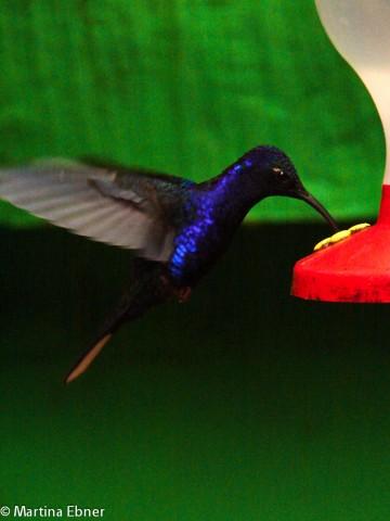 Ein trinkender Kolibri