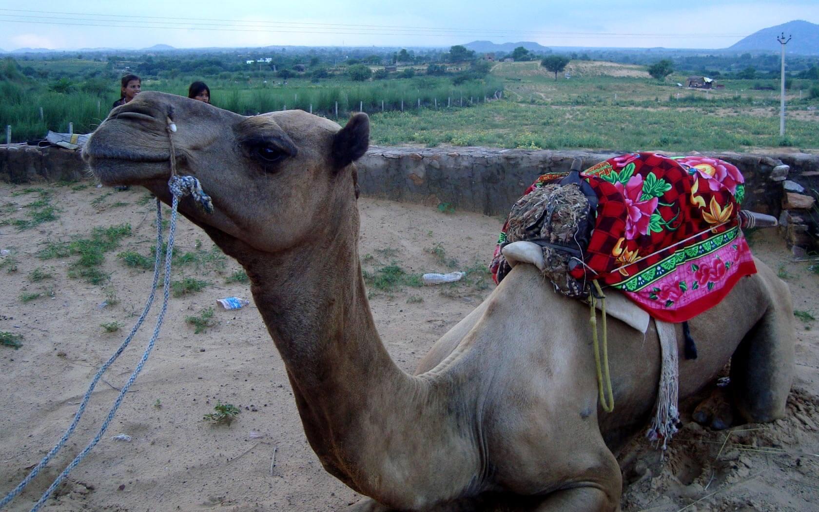 Ein indisches Kamel