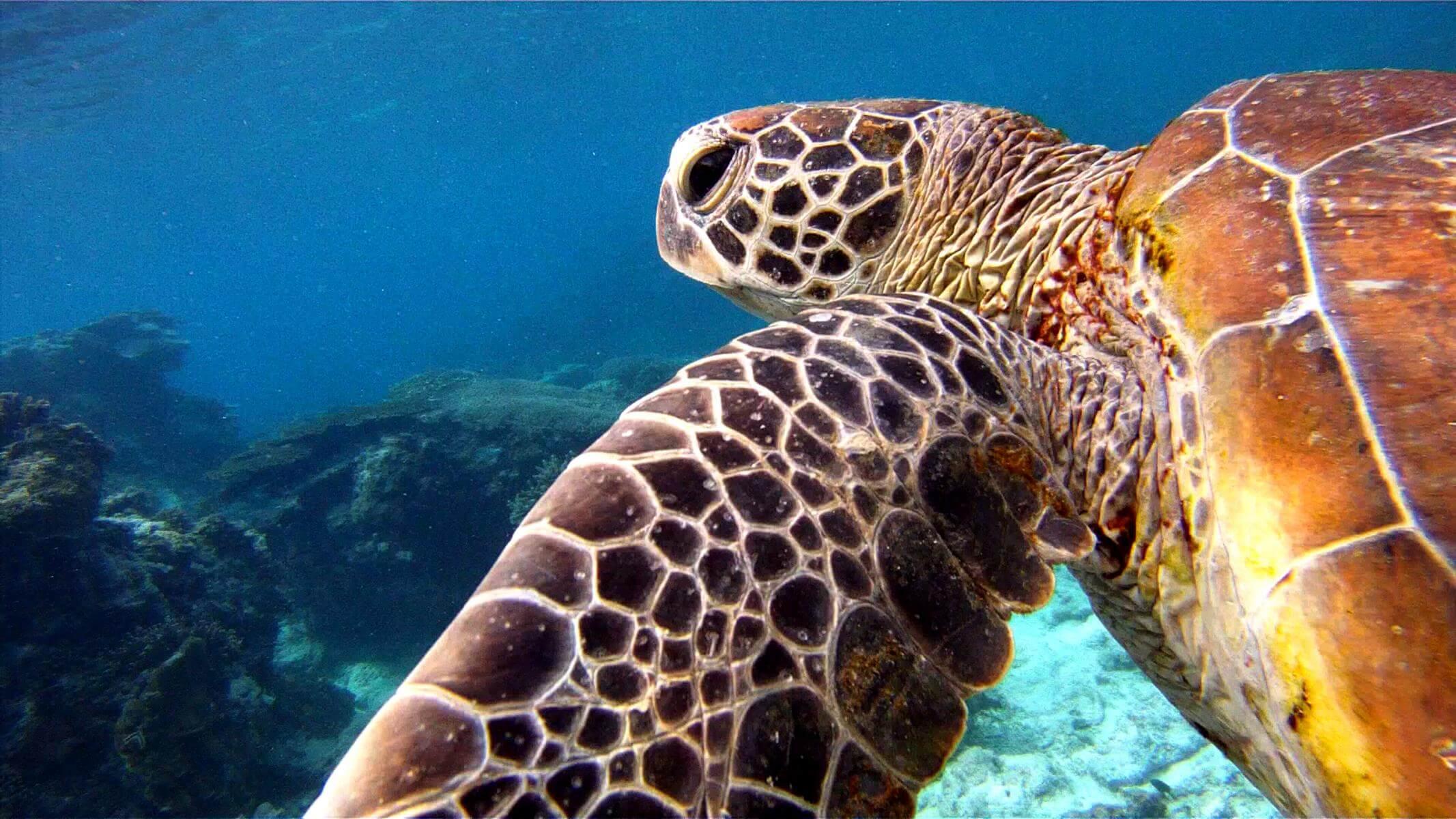 Green Turtle vor Lady Elliot Island im Wasser