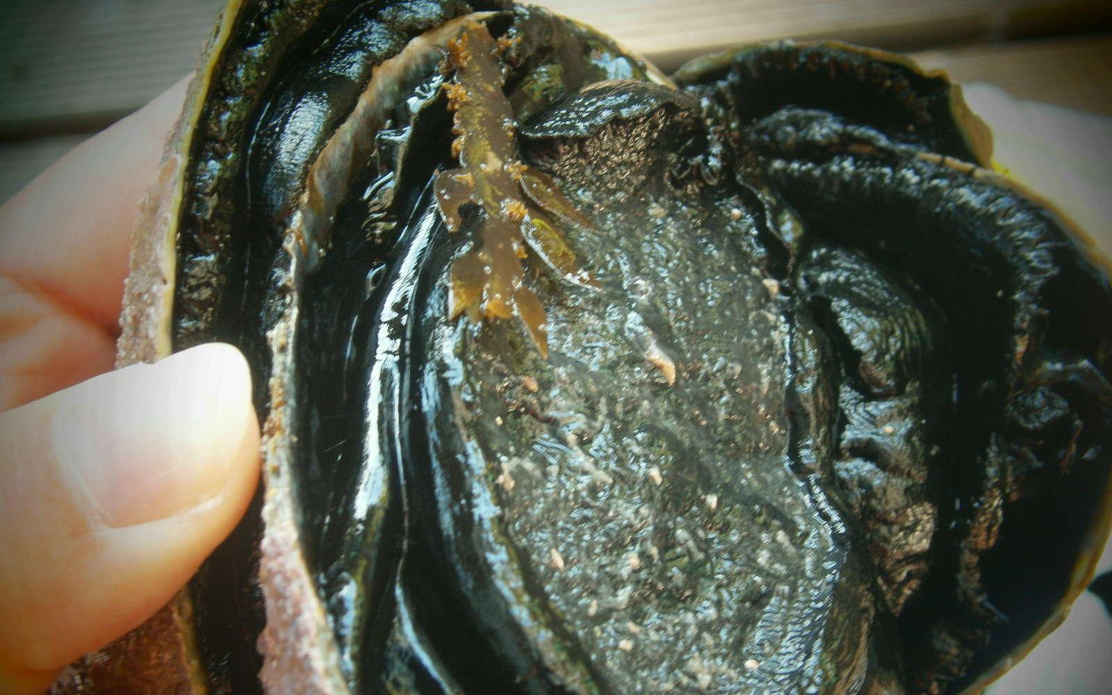 Eine schwarze Abalone