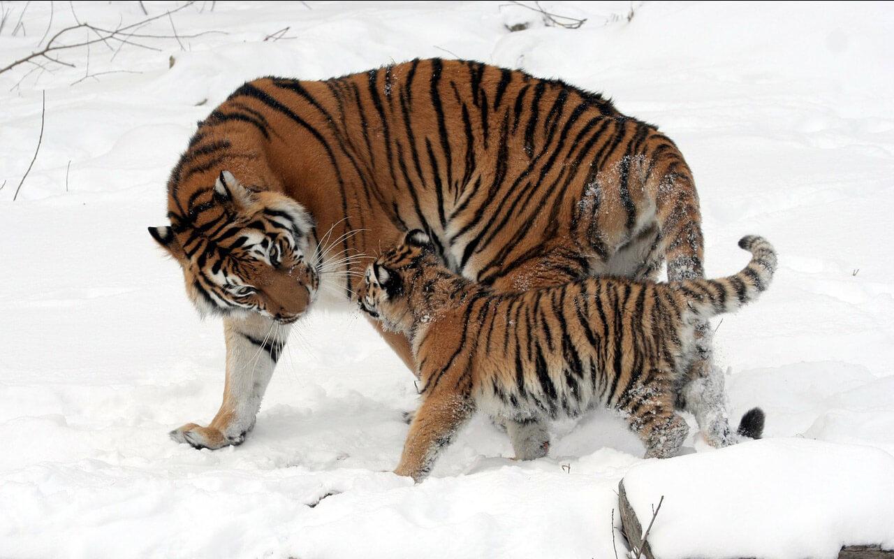 Sibirischer Tiger mit Kind