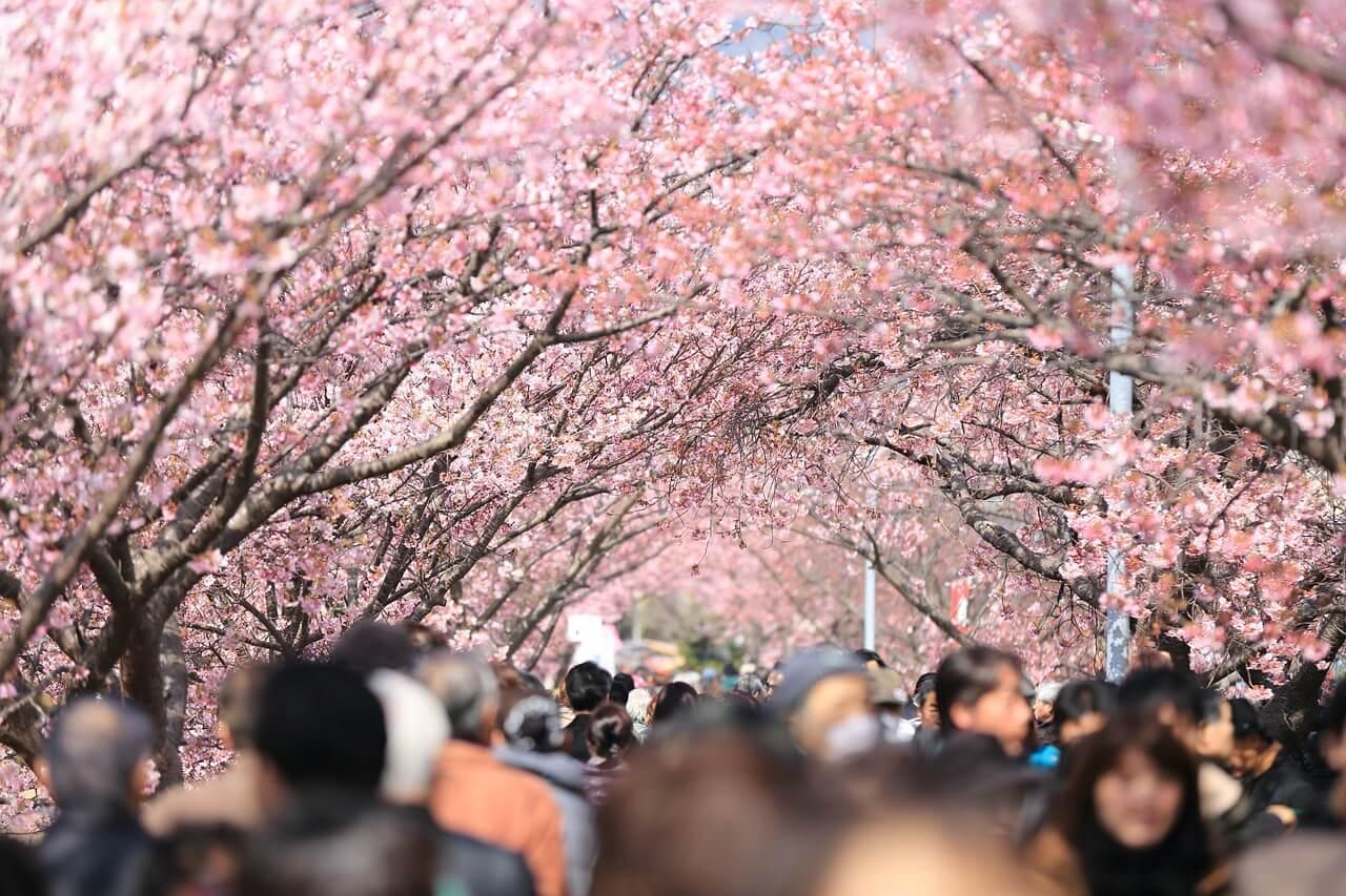 Viele Menschen laufen eine Kirschbaumallee entlang