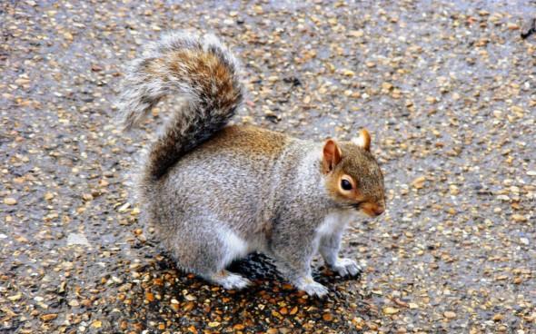 Squirrel im Park