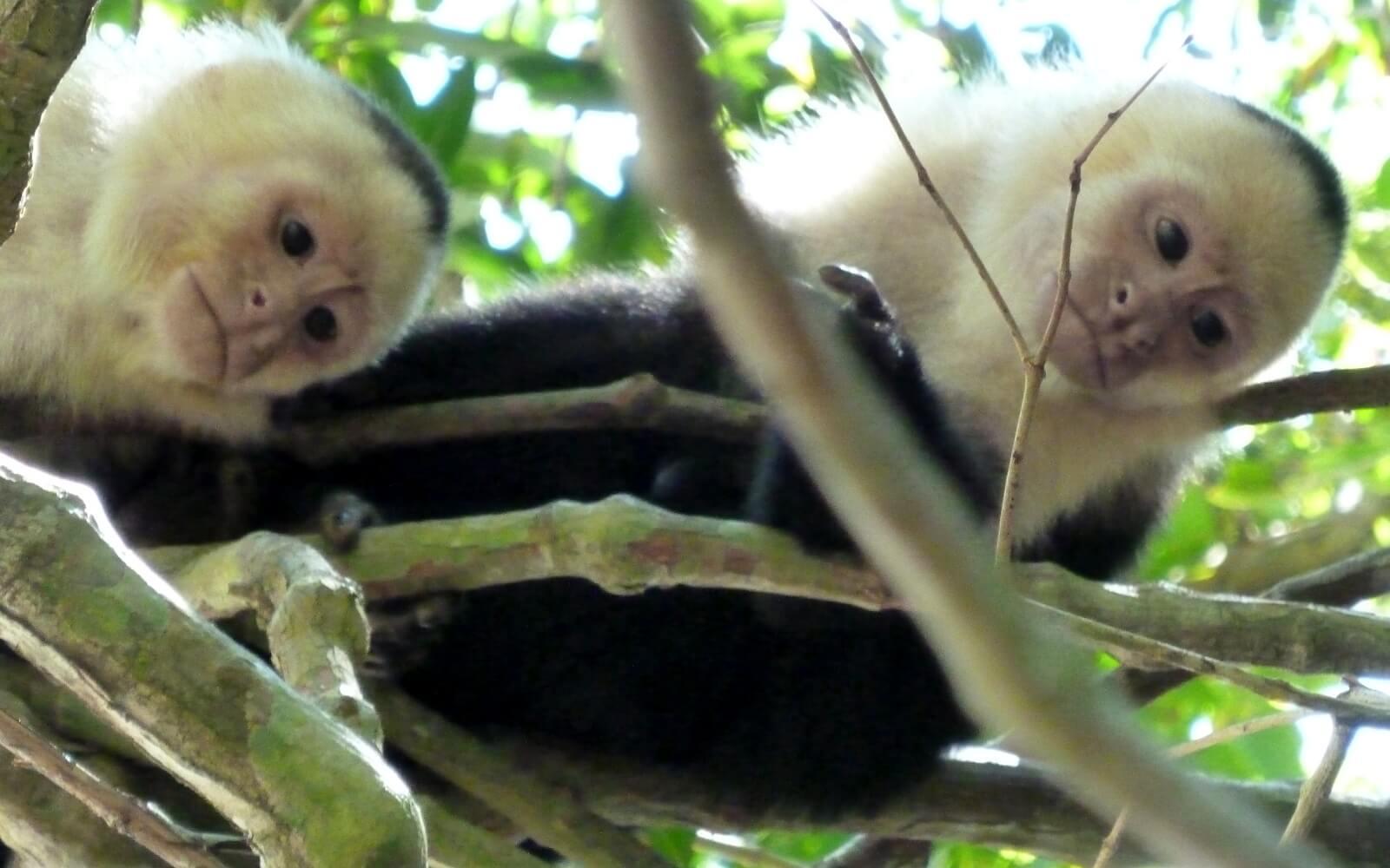 Äffchen im Nationalpark von Costa Rica