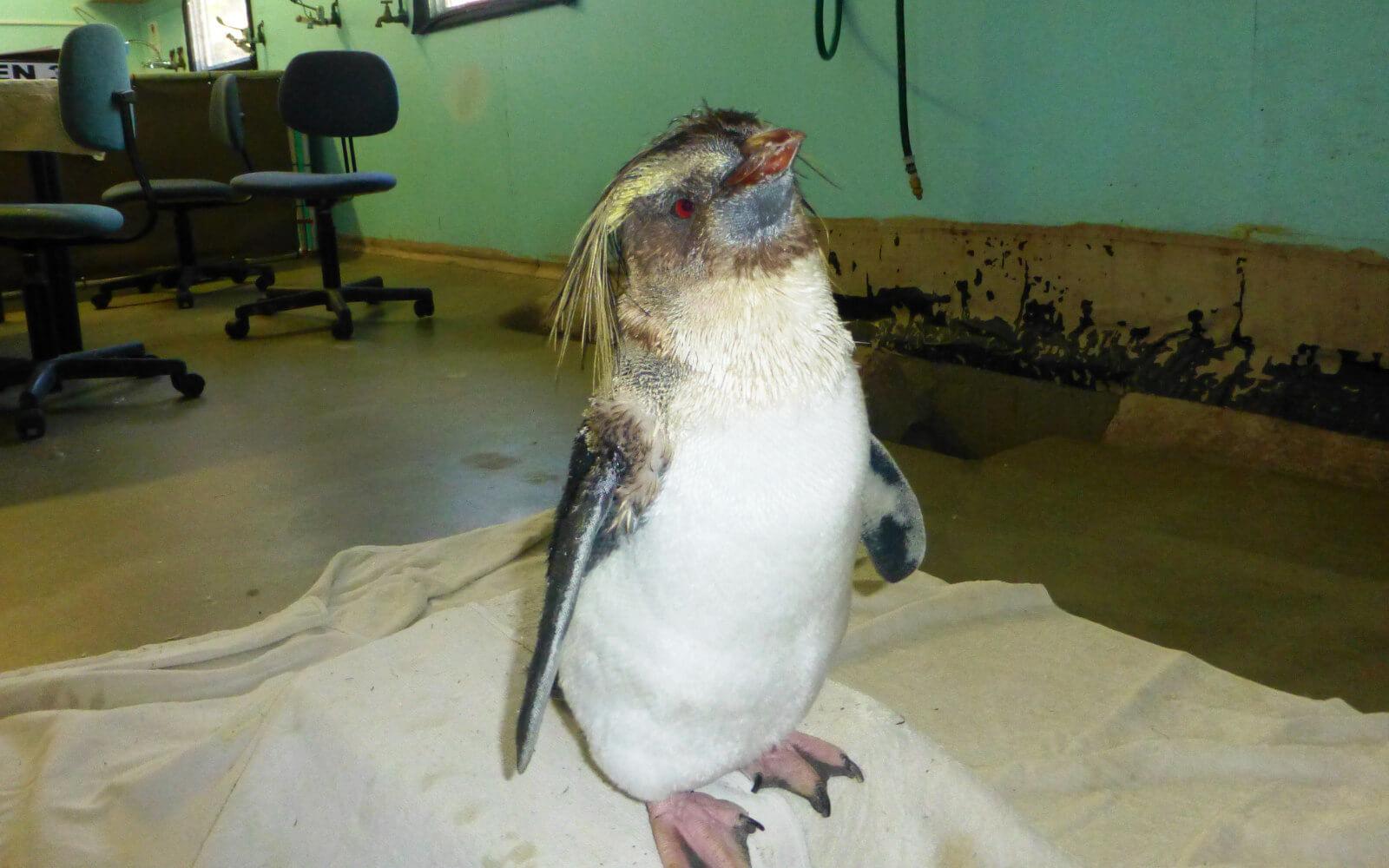 Kleiner Pinguin im Rehabilitations-Zentrum