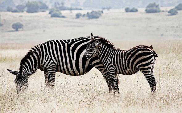 Zebras in Ruanda