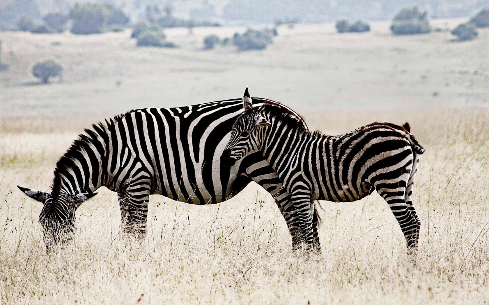 Zebras in Ruanda