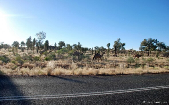 Kamele am Ayers Rock