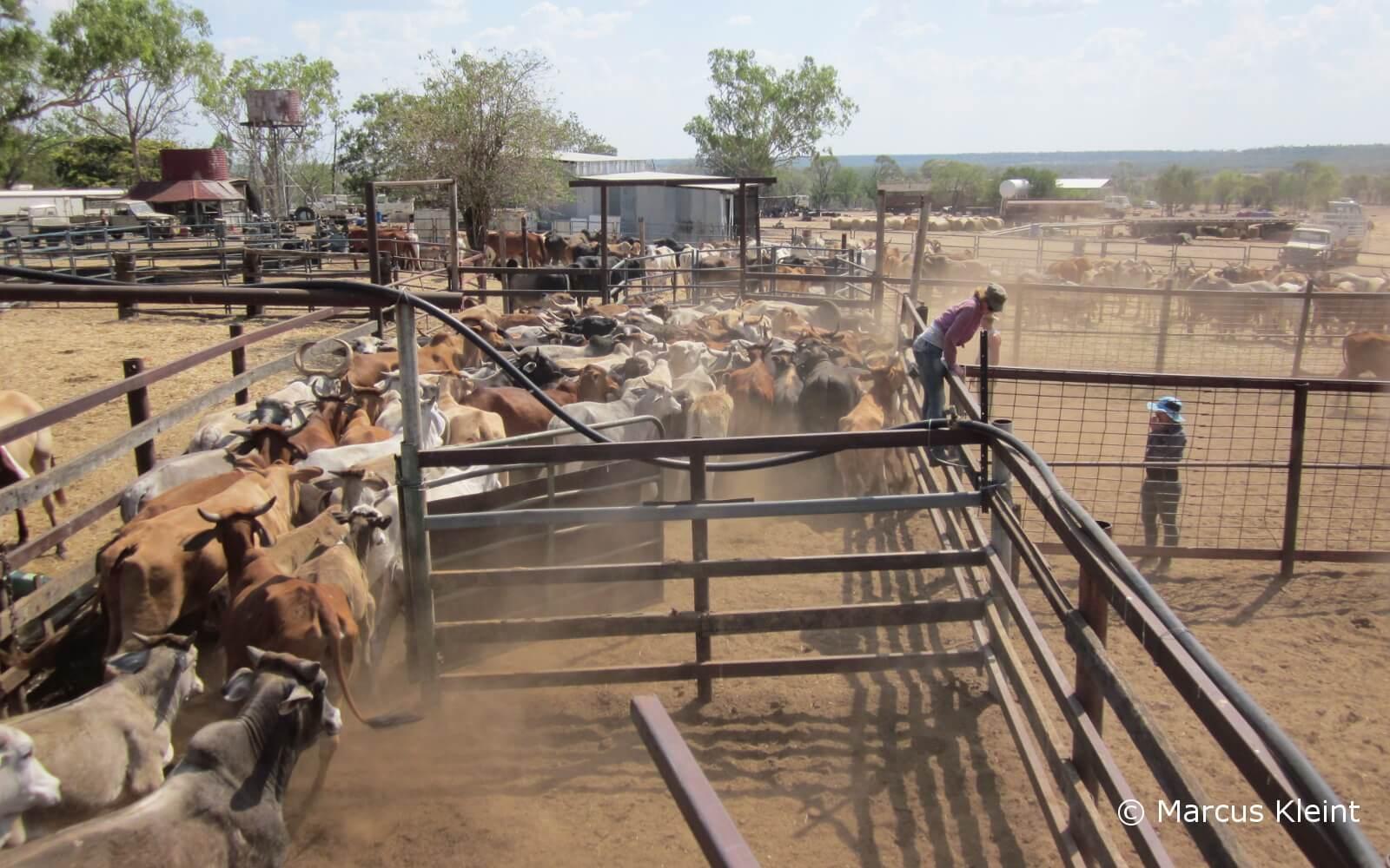 Rinder werden umhergetrieben