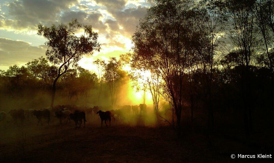 Sonnenuntergang hinter einer Rinderherde