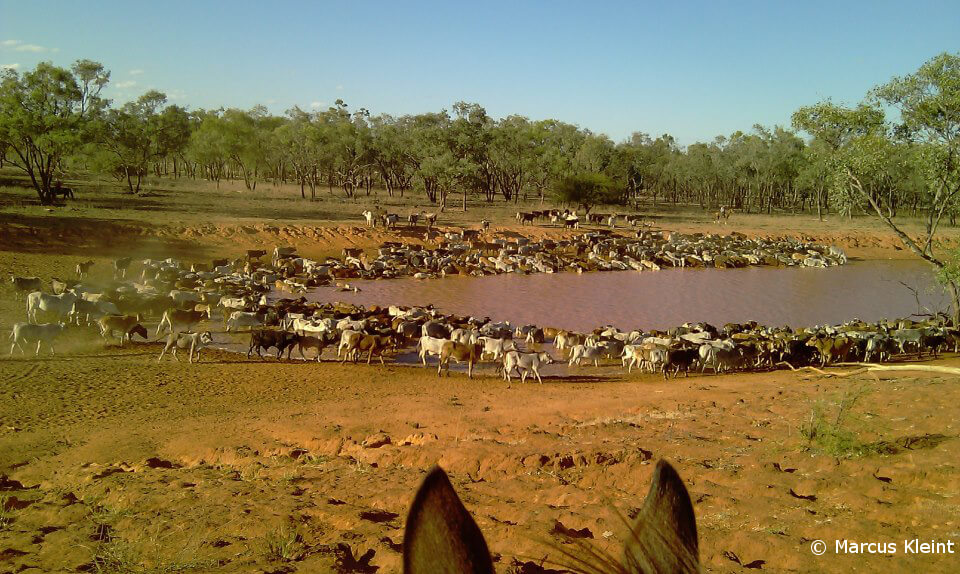 Trinkende Rinderherde an einem Wasserloch