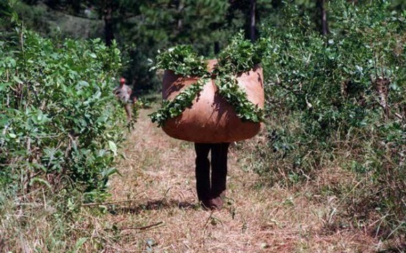 Lateinamerika: Ernte des Yerba Mate