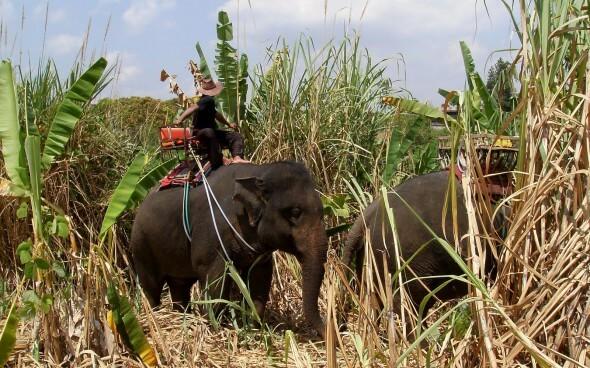 Sri Lanker bei der Feldarbeit mit seinem Elefant