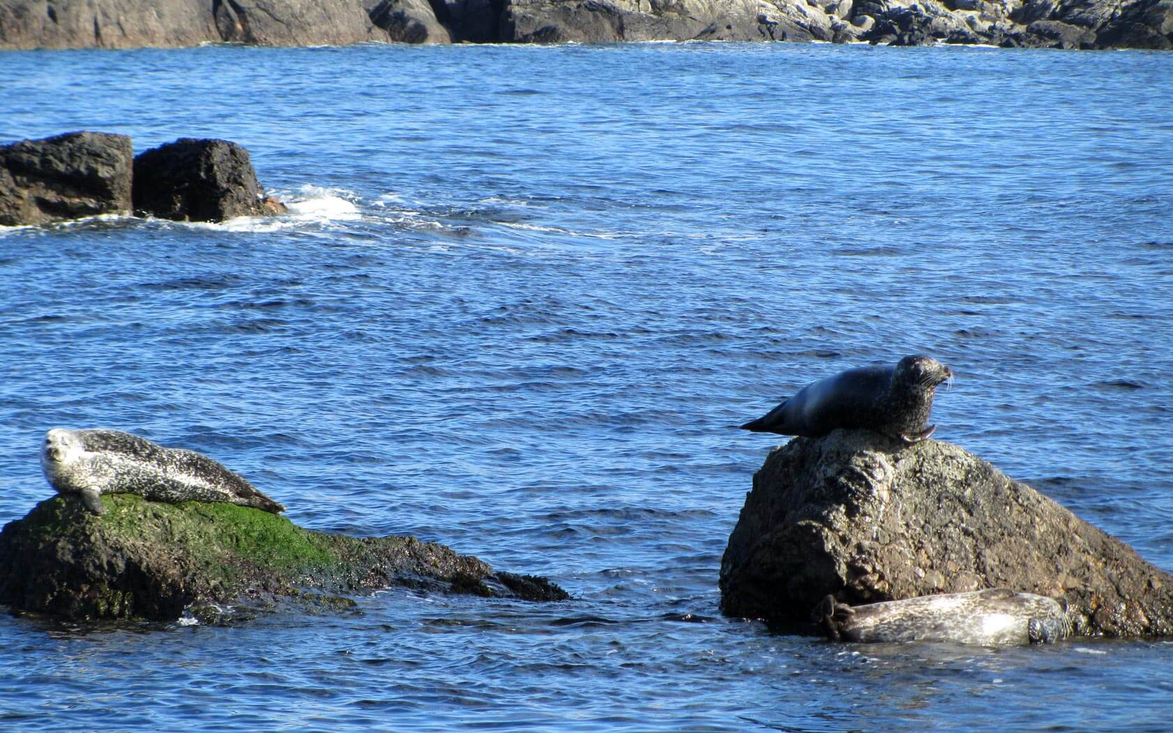 Shetland Reisebericht: Seelöwen, die sich sonnen