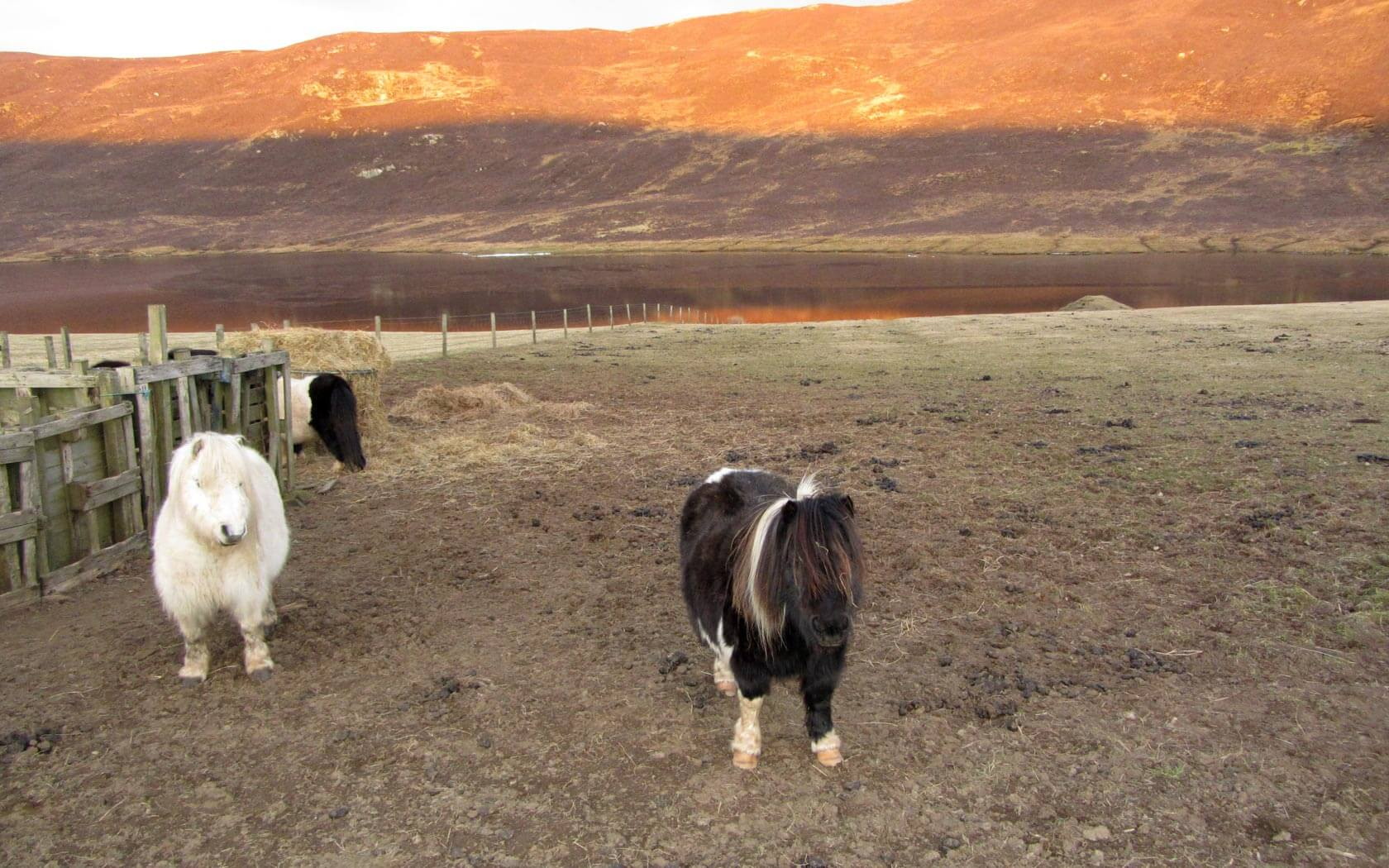 Shetland Reisebericht: Shetlandponys auf der Weide