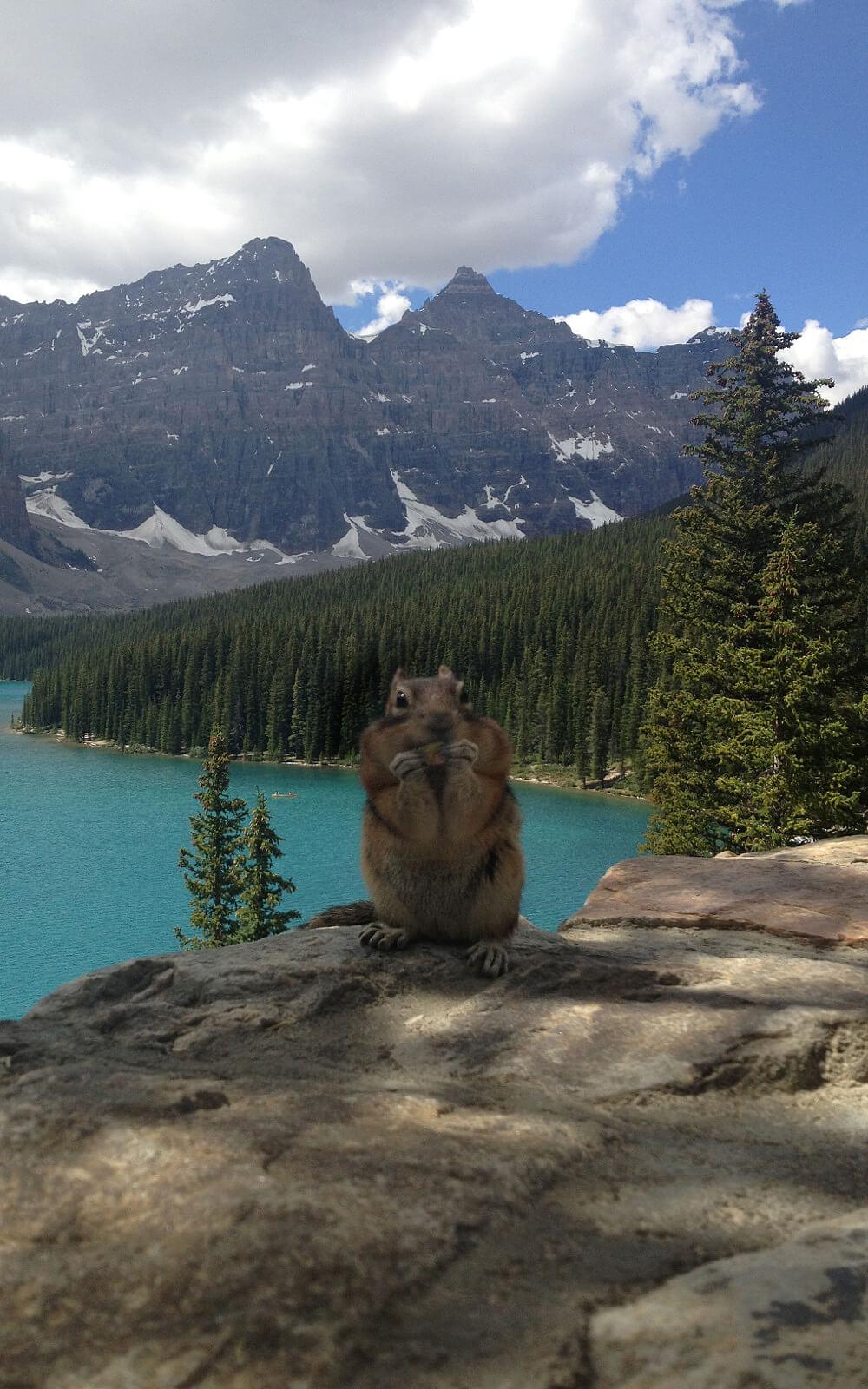 Ein kanadisches Murmeltier auf einem Felsen