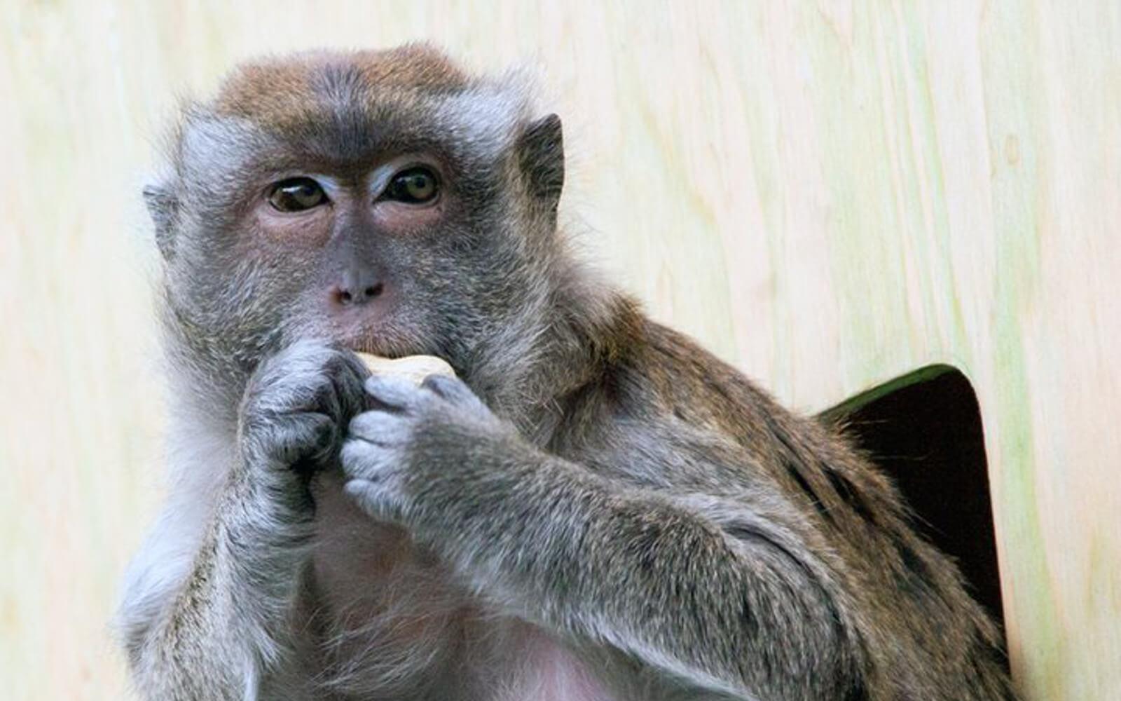 Hawaii: Affchen auf der Insel des Aloha-Zaubers
