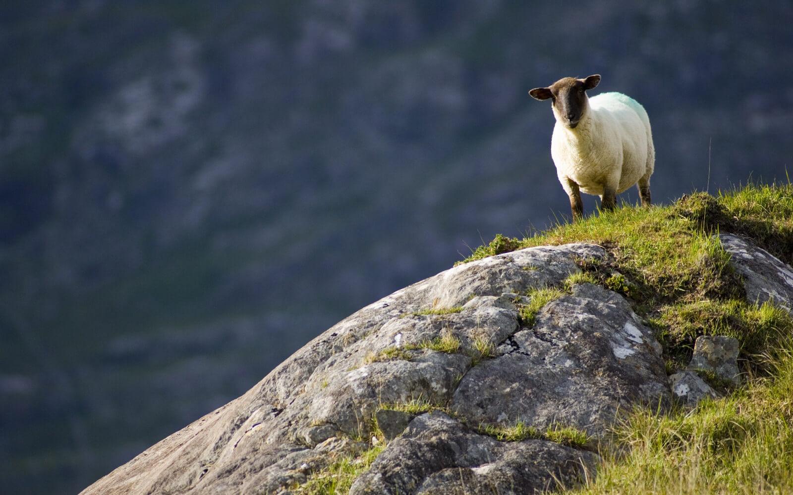 Antonina bei den Iren - Schaf