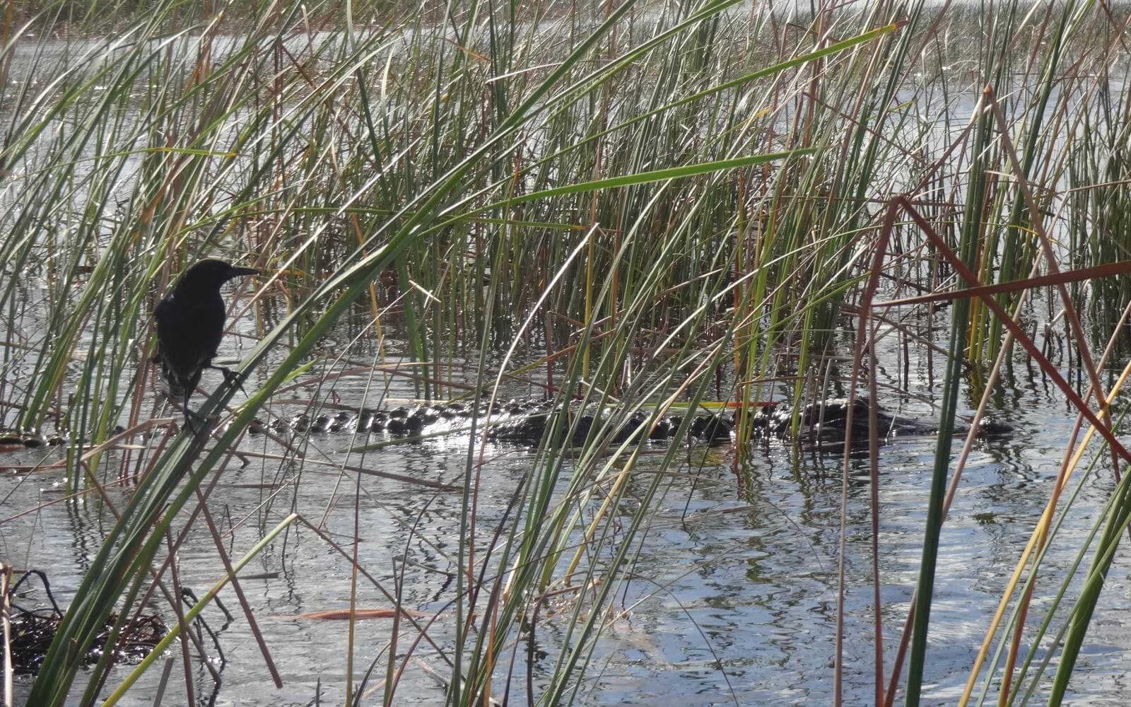 Freiwilligenarbeit USA: Aligatoren in den Everglades
