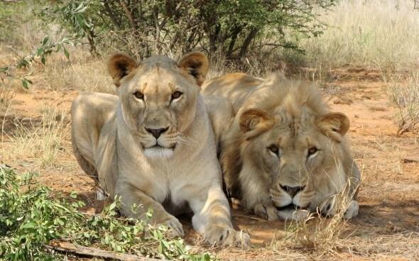 Aussergewöhnliche Hotels: Schlafen bei den Löwen