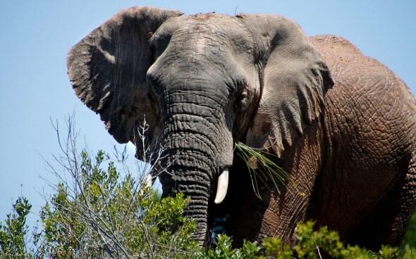 Wildlife-Projekt Südafrika: Elefant