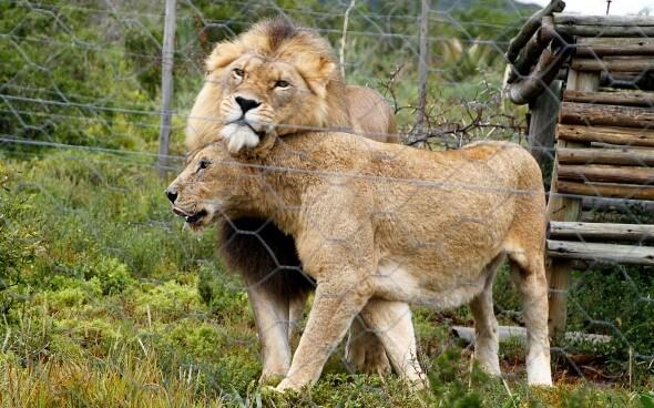 Wildlife-Projekt Südafrika: Löwen