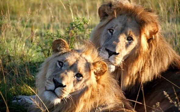 Löwen - Volunteer Südafrika