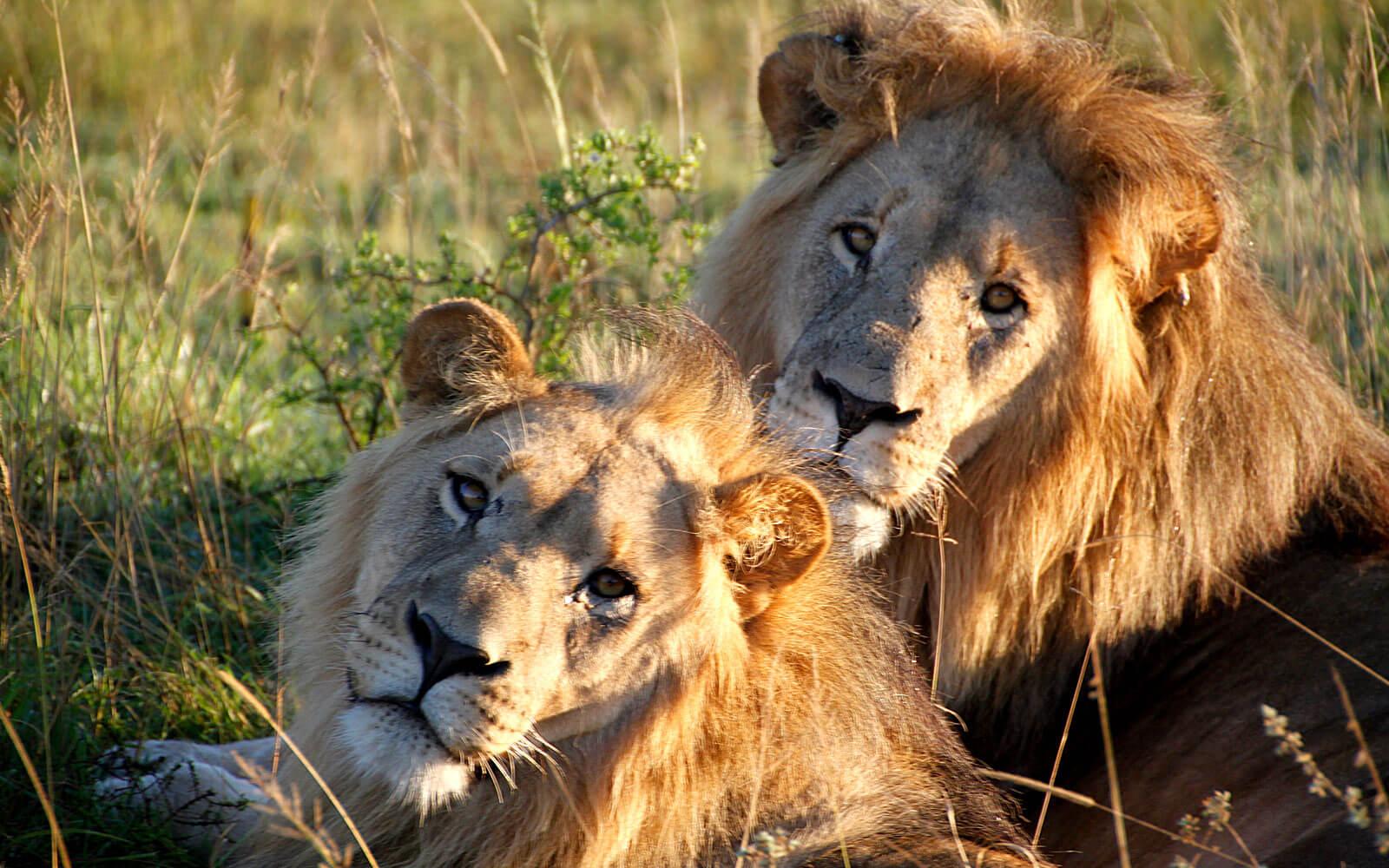 Zwei Löwen beim Faulenzen