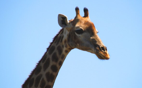 Wildlife-Projekt Südafrika: Giraffe