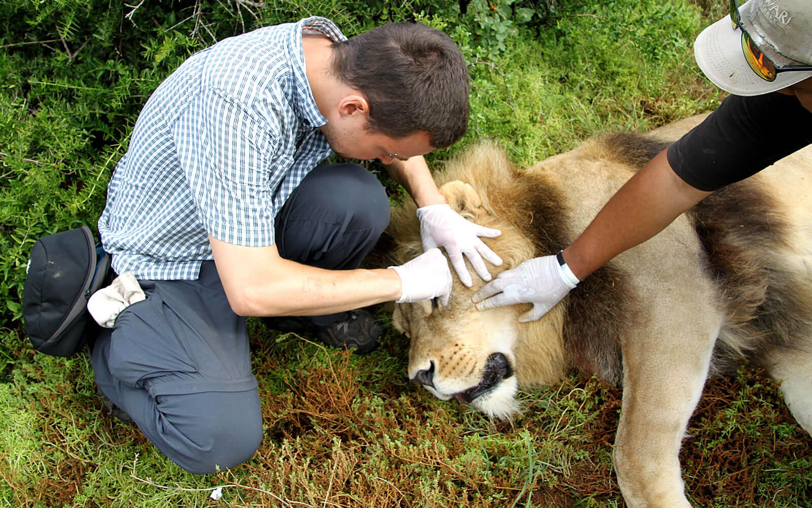 Nicolas bei einer Löwenuntersuchung
