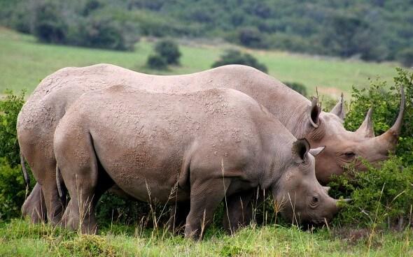 Wildlife-Projekt Südafrika: Nashörner