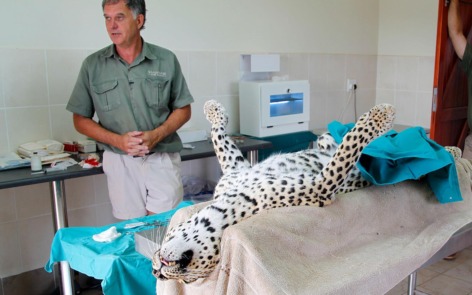 Leopard auf dem OP-Tisch