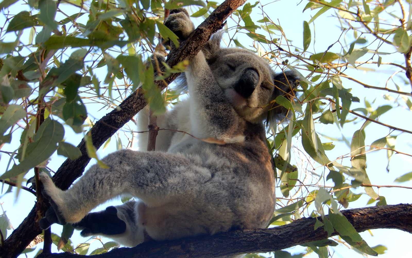 Demi-pair Australien: Koala