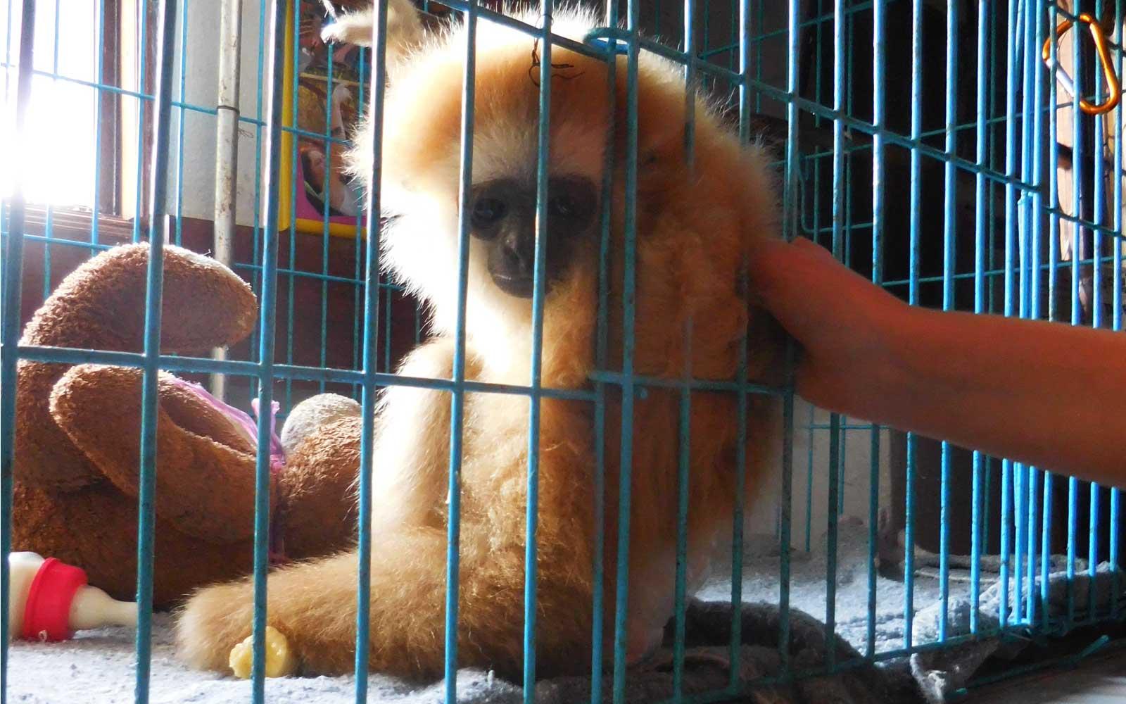 Freiwilligenarbeit Thailand Affen-Baby Julie