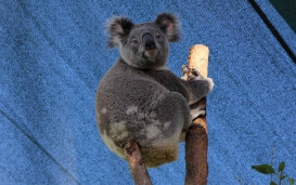 Koalabär in Sydney Wildlife World
