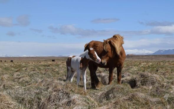 Pferd mit Fohlen auf der Koppel in Island