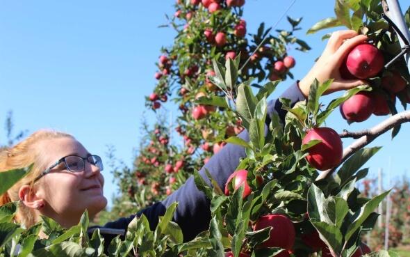 Stepin-Stipendiatin Annika pflückt Äpfel in Kanada