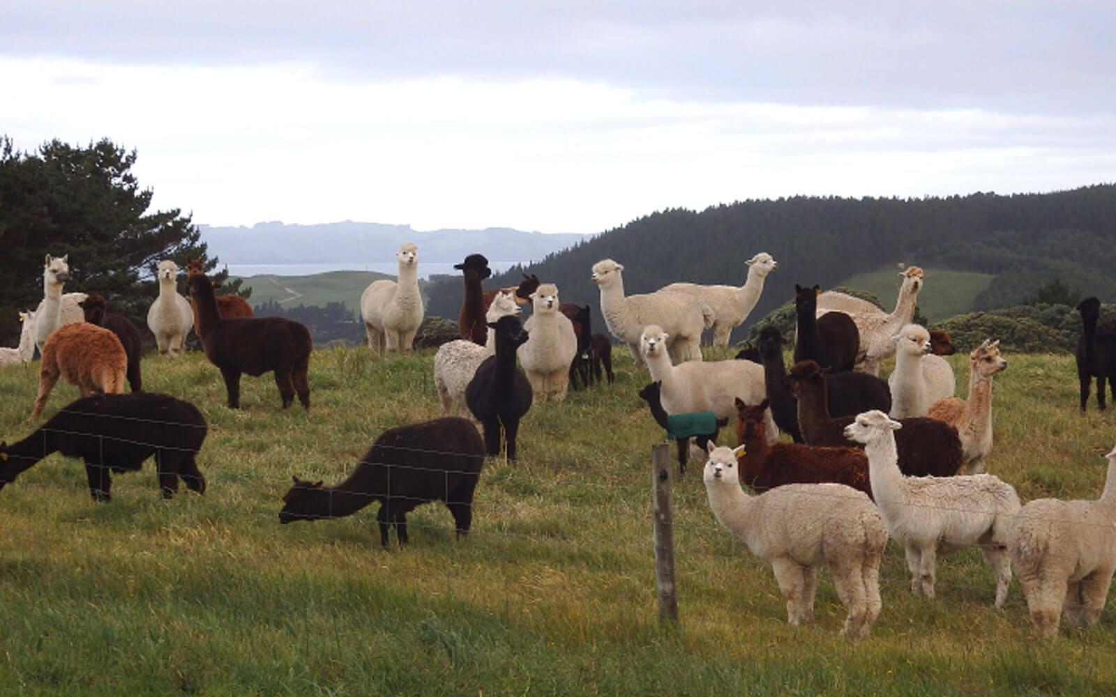 Alpakas in Neuseeland