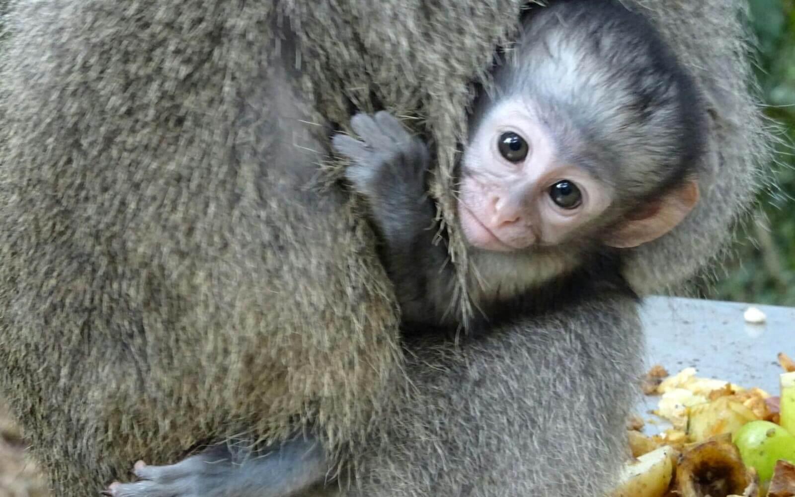 Baby Affe umklammert seine Mutter