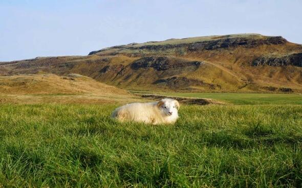Schaf im Gras in Island