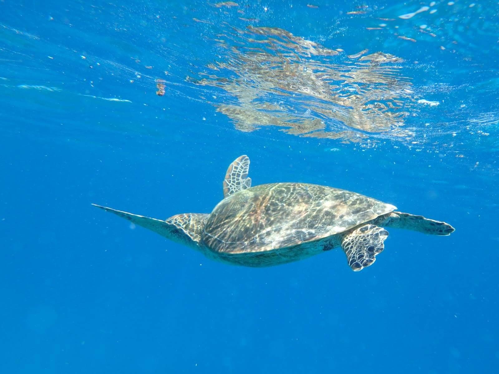 Meeresschildkröte in Australien